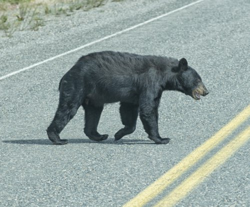 Black bear walks 400 miles across Missouri