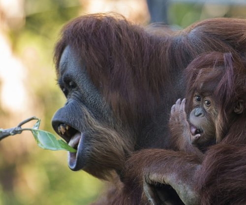 Orangutan's vocal control offers insight into early human speech
