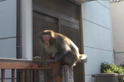 Loose monkey dodges capture in Tokyo for over a week