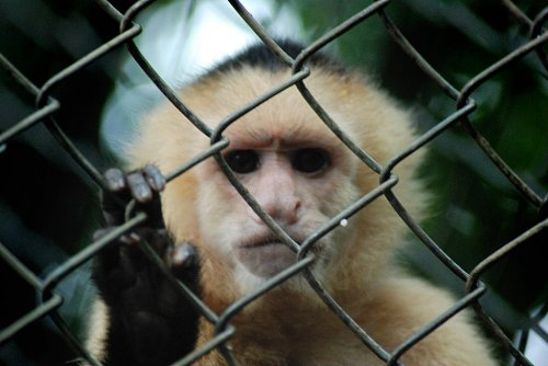 Monkey on house arrest after biting man