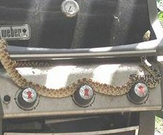 Colorado bull snake celebrates summer on the barbecue grill