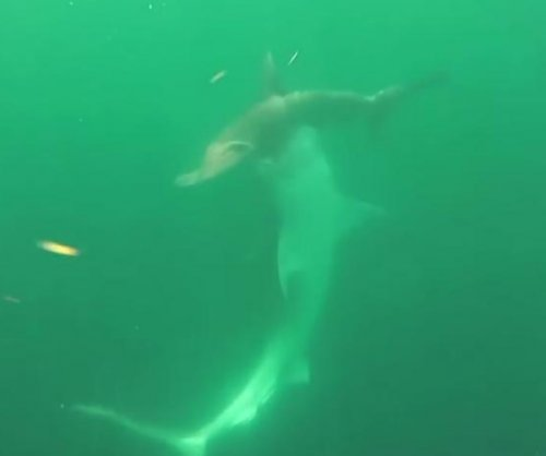 Tiger shark takes on hammerhead in underwater battle to the depth