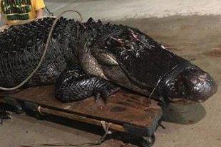 12-foot alligator captured on Florida highway
