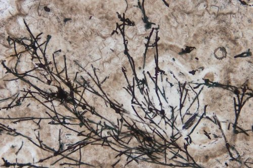 635 million-year-old fungi is the world's oldest terrestrial fossil