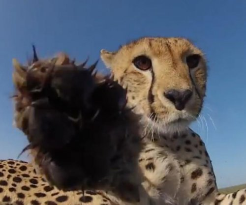 Camera rolls while cheetah chews on it