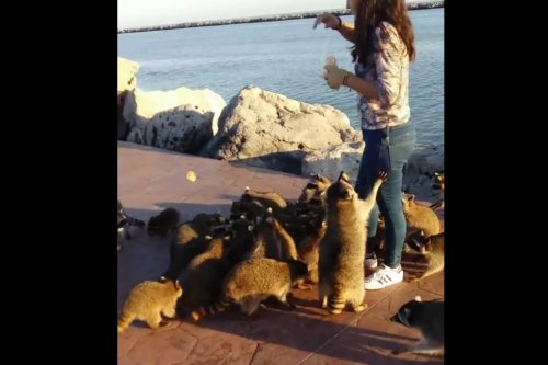 Huge swarm of raccoons descends on snack-holding girl