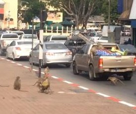 Monkeys raid fruit from the back of parked pickup truck