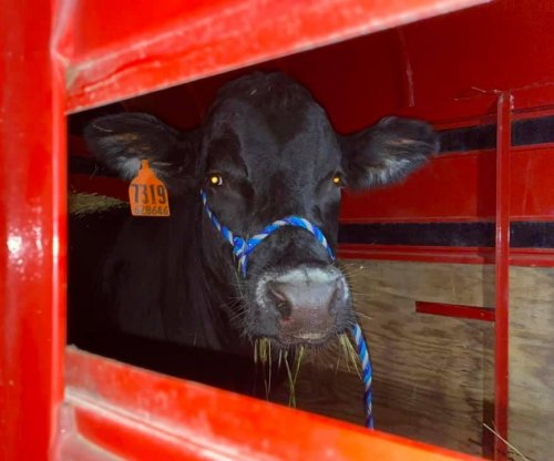 Escaped bull captured after two months on the loose in Long Island