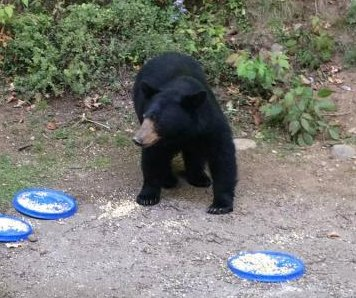 Vermont man fined $868 for putting out plates of food for bears