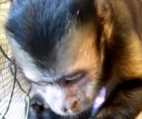 Florida primate sanctuary searching for missing monkey