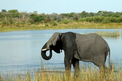 Botswana government says toxic algae bloom caused mass elephant deaths