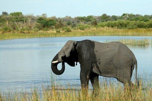 Botswana government says toxic algae bloom caused mass elephant deaths