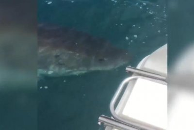 Massive great white shark circles Australian fisherman's boat