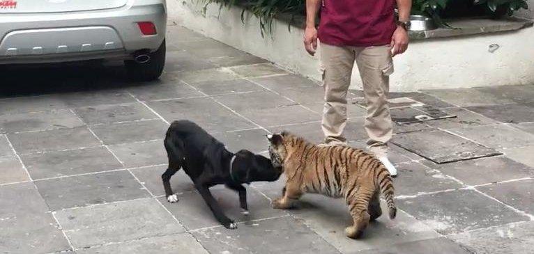Rescue dog enjoys playtime with tiger cub - UPI com
