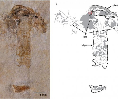 Scientists unearth world's oldest mushroom fossil