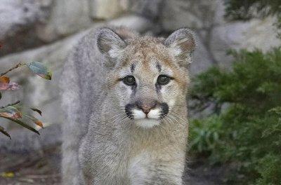 Mountain lion briefly escapes South Korean zoo