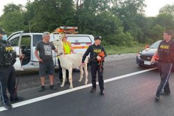 Police capture loose llama running in highway traffic