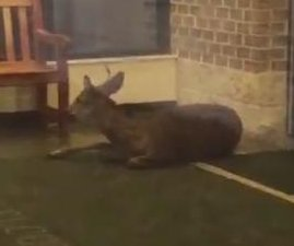 Disoriented deer bounces off the walls inside New Jersey high school