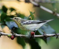 Conservationists aim to turn birders on to shade-grown coffee