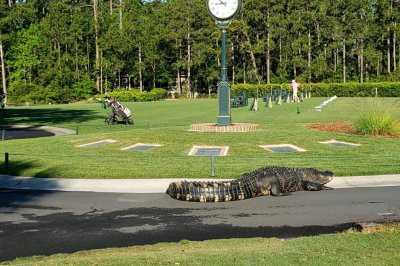 10-foot alligator disrupts games at South Carolina golf course