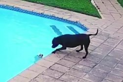Dog rescues smaller dog from owner's backyard pool