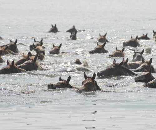 Hundreds of horses swim between islands in 91st annual 'Pony Swim'
