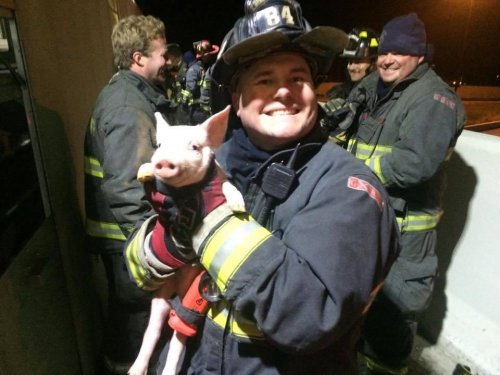 1,300 piglets rescued after Indiana highway crash