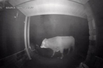 Doorbell camera records cow's late night front porch visit