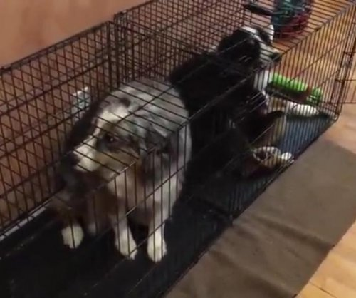 Guilty dogs lock themselves up after chewing up bed