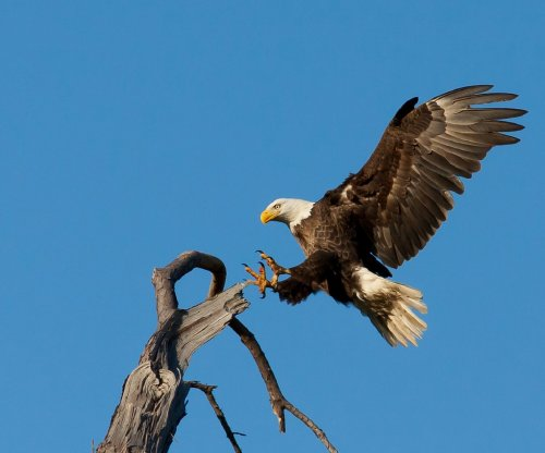 Mysterious new virus found spreading among bald eagles