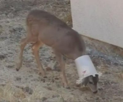 Deer rescued from chicken feeder in California