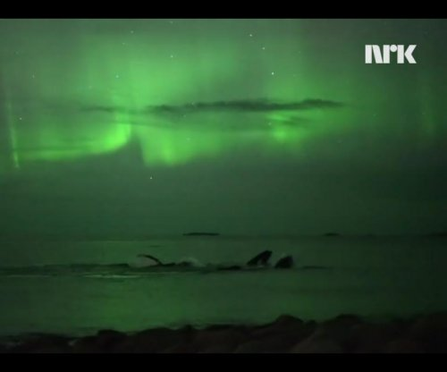 Watch: Humpback whales swim beneath the northern lights