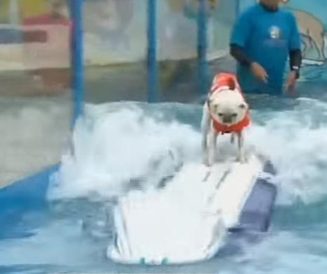 Surfing dogs compete for spot on Rose Parade float