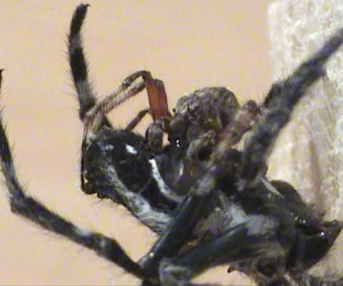 Study: Spiders have oral sex