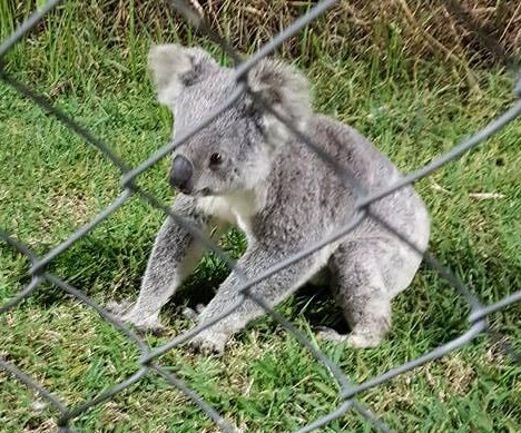 Koala causes adorable interruption to soccer game in Australia