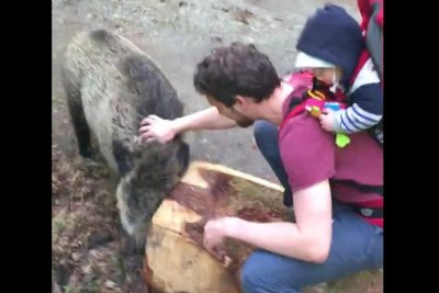 Unusually friendly wild boar approaches hiking family