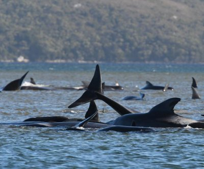 Rescuers find hundreds of whales stranded off Tasmania