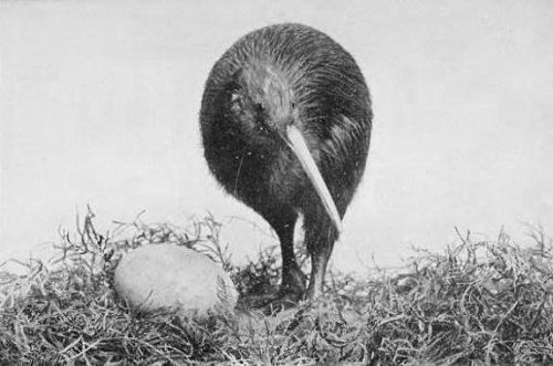 Study: kiwi and elephant bird belong to same lineage