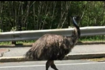 Massachusetts emu returns home after three days on the loose