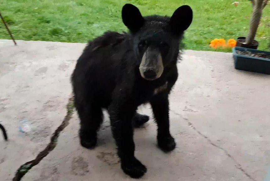 'Cute' baby bear turns up on Ontario woman's doorstep
