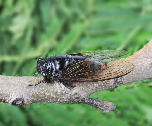 Scientists model anti-reflective surfaces after cicada wings