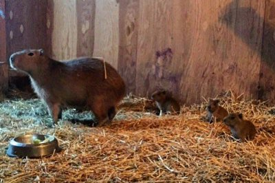Fugitive Toronto capybaras 'Bonnie and Clyde' give birth to triplets