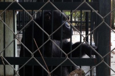 America's 'loneliest chimpanzee' smokes cigarettes, drinks Coke, according to lawsuit