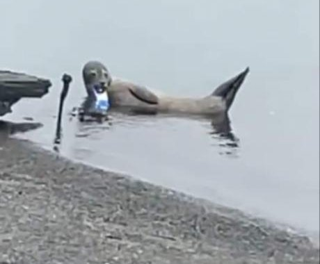 Scottish police rescue seal with beverage can stuck over its jaw