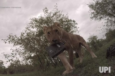 Lion steals documentary crew's camera while it records