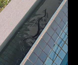 Venomous eastern brown snake found in family pool