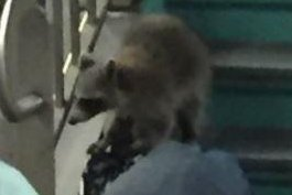 Fare-evading raccoon sneaks into Philadelphia train station