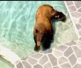 Black bear takes a swim in Los Angeles resident's pool