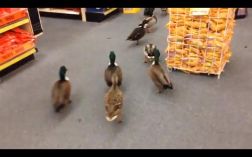 About 50 ducks invade drug store