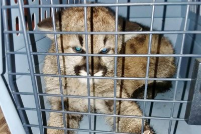 Mountain lion cub seized from Colorado home